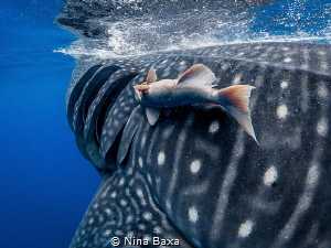 Hitch Hiker - Remora hitching a ride by a Whale Shark's g... by Nina Baxa